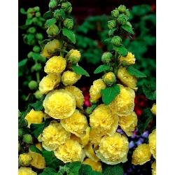 Malwa żółta - Yellow - 1 kłącze