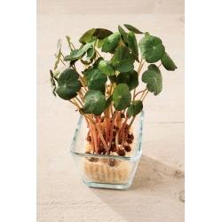 Microgreens – Nasturcja niska - młode listki o unikalnym smaku - 160 nasion