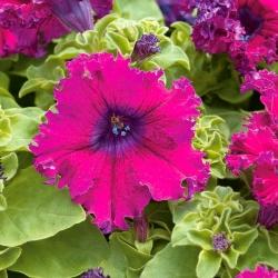 Petunia o kwiatach strzępiastych - amarantowa - 80 nasion