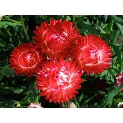 Kocanka ogrodowa, nieśmiertelnik - czerwona - 1250 nasion