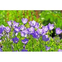 Dzwonek karpacki niebieski - 6500 nasion