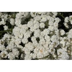 Krwawnik kichawiec - 470 nasion