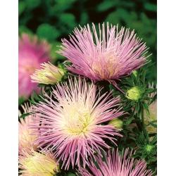 Aster igiełkowy Rapsodia - jasnofiołkowy