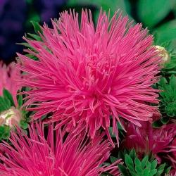 Aster igiełkowy wysoki Walentyna - różowy
