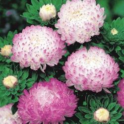Aster peoniowy Aurora - biało-różowy