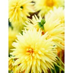 Dalia kaktusowa żółta - Dahlia cactus Yellow