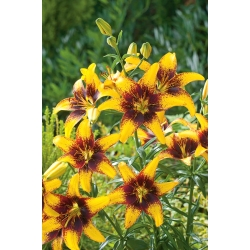 Lilia Yellow & Brown - 1 cebulka