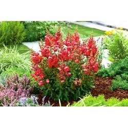 Lwia paszcza niska Aramis - czerwona - 3700 nasion