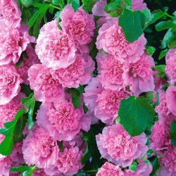Malwa różowa - Pink - 1 kłącze