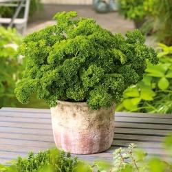 Mini ogród - Pietruszka naciowa o kędzierzawych liściach - do uprawy na balkonach i tarasach