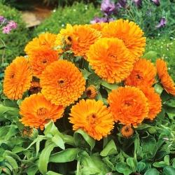 Nagietek lekarski Orange Gem pomarańczowy