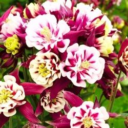 Orlik ogrodowy pełny Winky Red White