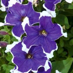 Petunia ogrodowa Iluzja - niebieska - 400 nasion