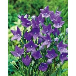 Platykodon, Rozwar wielkokwiatowy - Fuji Blue