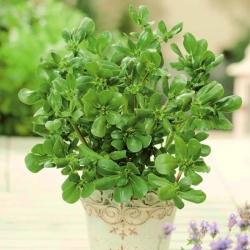 Mini ogród - Portulaka warzywna - do uprawy na balkonach i tarasach