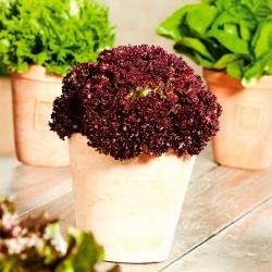 Mini ogród - Sałata liściowa czerwona - do uprawy na balkonach i tarasach