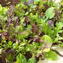 Mini ogród - Aromatyczne cięte listki - do uprawy na balkonach i tarasach