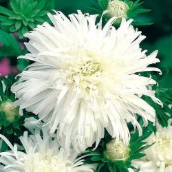 Aster chryzantemowy biały