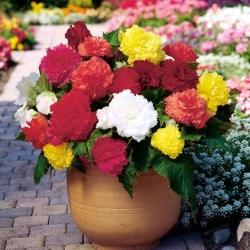 Begonia strzępiasta Fimbriata - mix kolorów - 2 bulwy