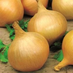 Cebula Majka – odmiana wczesna - 500 nasion
