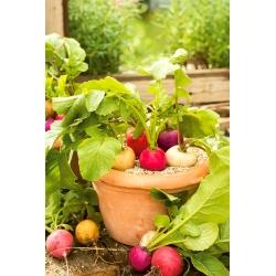 Domowy ogródek - Rzodkiewka - mieszanka różnych typów - do uprawy w domu i na balkonie - 850 nasion