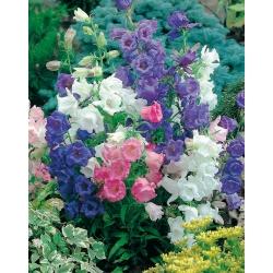 Dzwonek ogrodowy Calycanthema - 2000 nasion