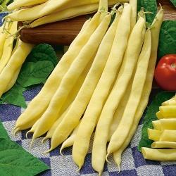 Fasola karłowa żółtostrąkowa – odmiana Galopka - 100 nasion