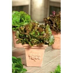 Mini ogród - Sałata na cięte listki - czerwona, kędzierzawa - do uprawy na balkonach i tarasach