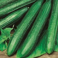 Ogórek Max - pod osłony - nasiona odmian profesjonalnych dla każdego - 10 nasion