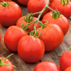 Pomidor Szach - gruntowy o bardzo kształtnych owocach