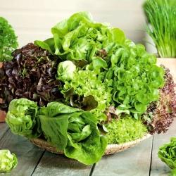 Sałata – mieszanka odmian – nasiona otoczkowane - 250 nasion