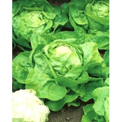 Sałata Syrena - głowiasta, masłowa, jasnozielona - 900 nasion