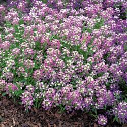 Smagliczka nadmorska - liliowofioletowa - 1750 nasion