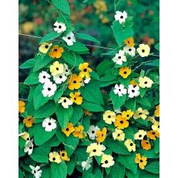 Tunbergia (mieszanka) - 28 nasion