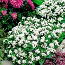 Żeniszek meksykański biały - 2700 nasion