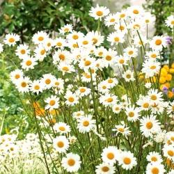 Złocień właściwy o kwiatach pojedynczych biały