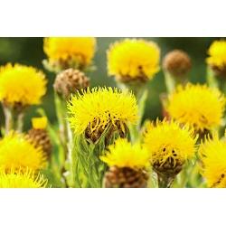 Chaber Macrocephala - żółty