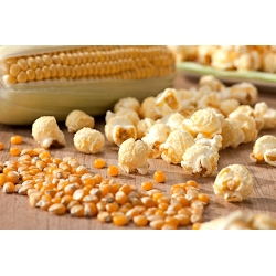 Kukurydza pękająca Jantar