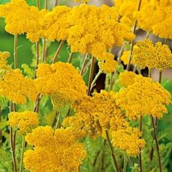 Krwawnik wiązówkowaty - żółty