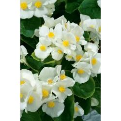 Begonia Barbara - stale kwitnąca, biała, odmiana zielonolistna