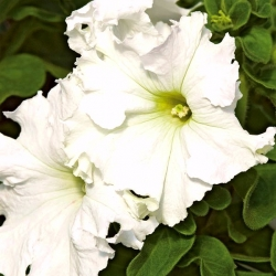 Petunia ogrodowa Koronkowy Welon - biała