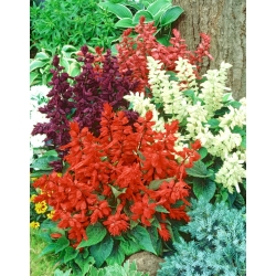 Szałwia błyszcząca - mieszanka kolorów - 84 nasion