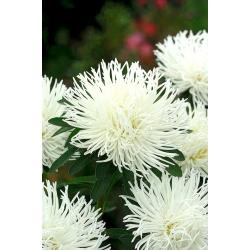 Aster chiński igiełkowy biały - 500 nasion