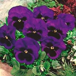 Bratek wielkokwiatowy fioletowy z plamą - 400 nasion