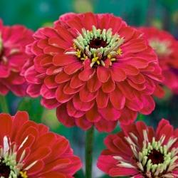 Cynia wytworna daliowa Burnus - czerwono-różowa - 120 nasion