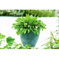 Domowy ogródek - Rukola roczna - Rokietta siewna - do uprawy w domu i na balkonie - 200 nasion