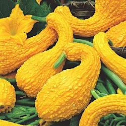 Dynia ozdobna Yellow Crookneck - 15 nasion