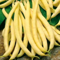 Fasola zwykła żółtostrąkowa Polka - 125 nasion