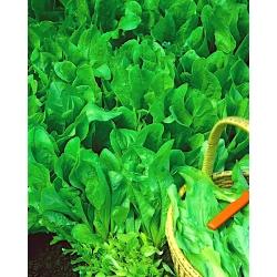 Mini ogród - Cykoria na cięte listki - do uprawy na balkonach i tarasach
