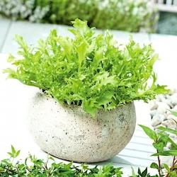 Mini ogród - Endywia na cięte listki - do uprawy na balkonach i tarasach